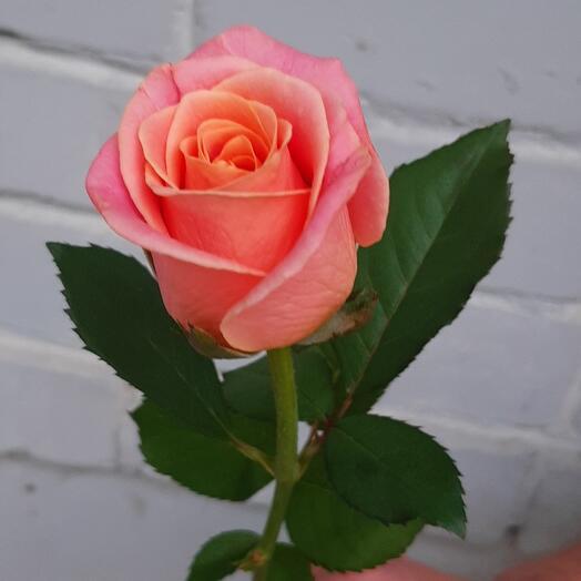 Коралловая роза