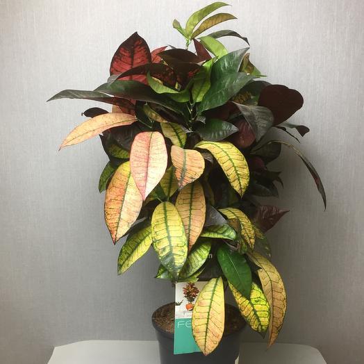 Кодиум Mrs.lseton: букеты цветов на заказ Flowwow