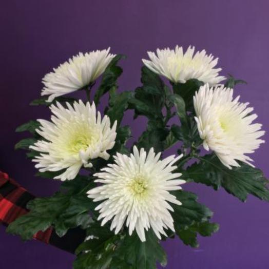 Хризантемы белоснежные