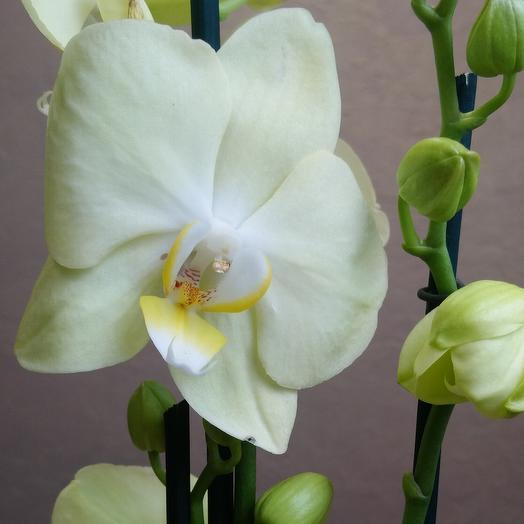 Фаленопсис нежно жёлтый с 2мя цветоносами