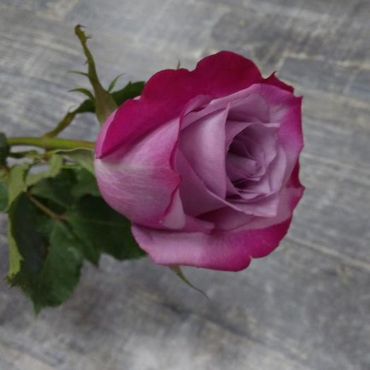 Роза Диппепл