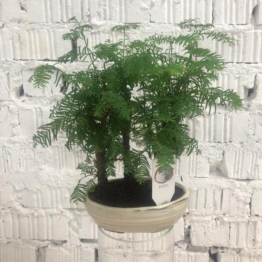 Бонсай metasequoia