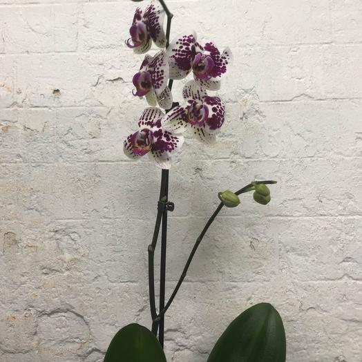 Фаленопсис белый с фиолетовым: букеты цветов на заказ Flowwow