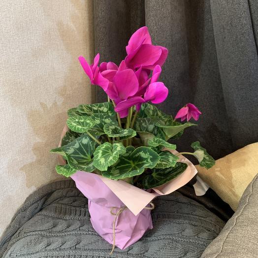 Цикламен в горшке: букеты цветов на заказ Flowwow