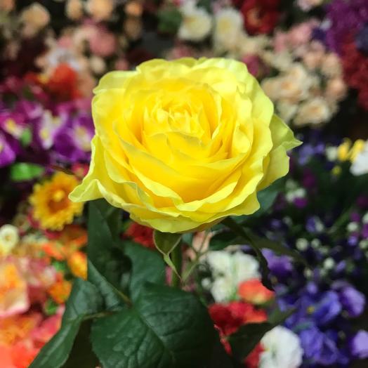 Роза илиус
