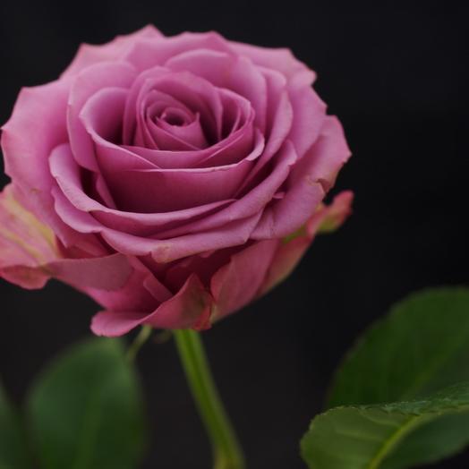 Розы Cool Water 60см