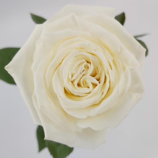 White rose 60 cm 1 piece, any quantity in the bouquet