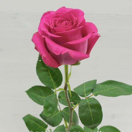 "Роза  ""Пинк Флойд"", 60см, Эквадор"