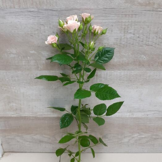 Роза кустовая. 50 см
