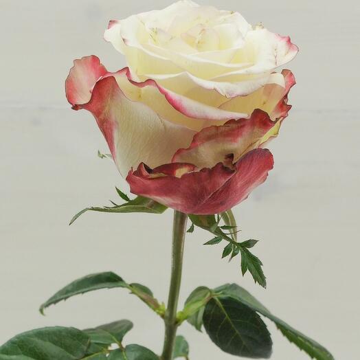 80 см Эквадор. Роза свитнесс