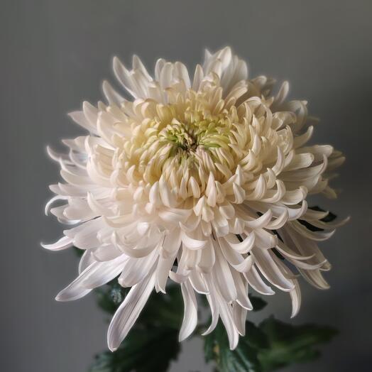 Хризантема Мега