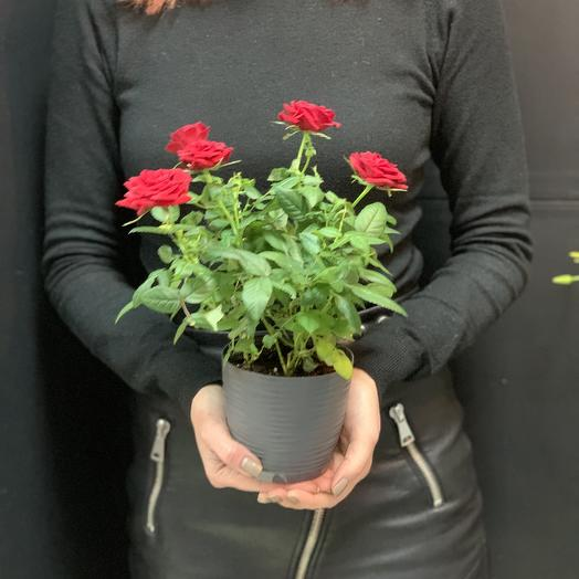 Комнатная Роза: букеты цветов на заказ Flowwow