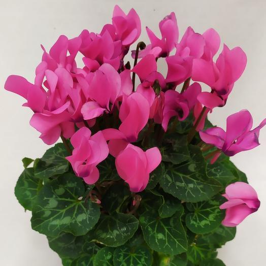 Комнатное растение ( Цикламен)