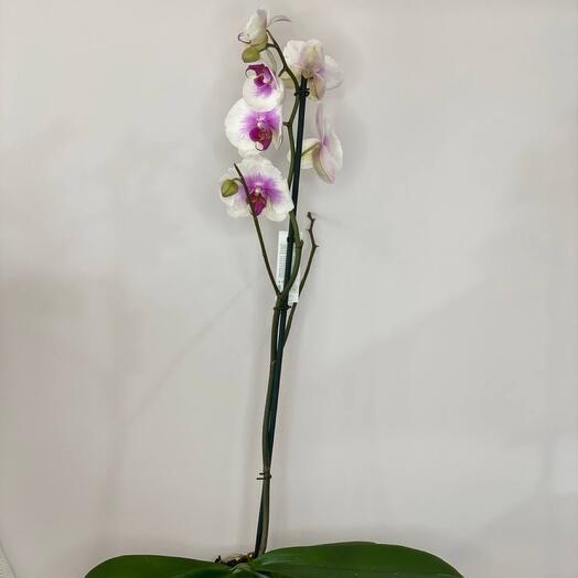 Орхидея одноствольная бело-сиреневая
