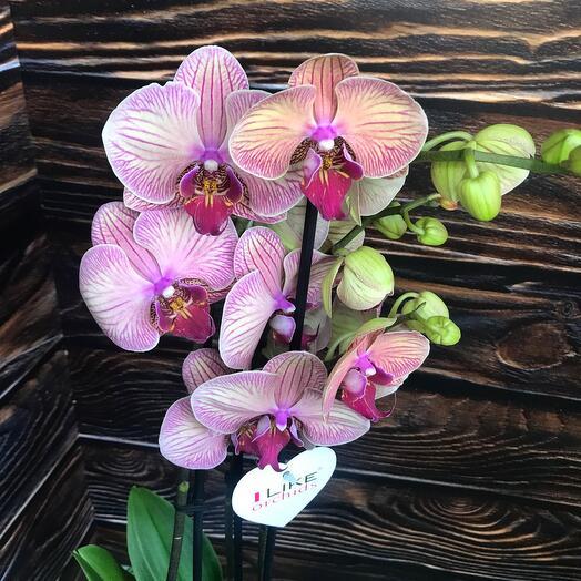 Орхидея фаленопсис 3 стрелы