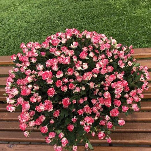 51 высокая кустовая роза
