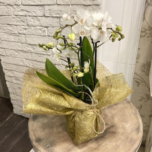 Шикарная сортовая орхидея фаленопсис мини: букеты цветов на заказ Flowwow
