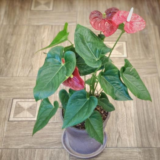 Комнатное растение Антуринум