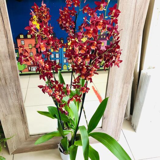Комнатное растение Орхидея Камбрия
