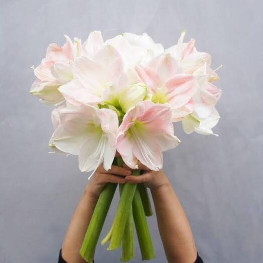 Пять розовых амариллисов