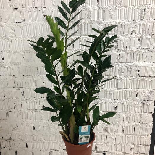 Замиокулькас Emerald Palm