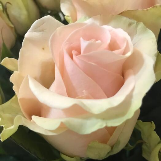 Роза Эквадор 70см