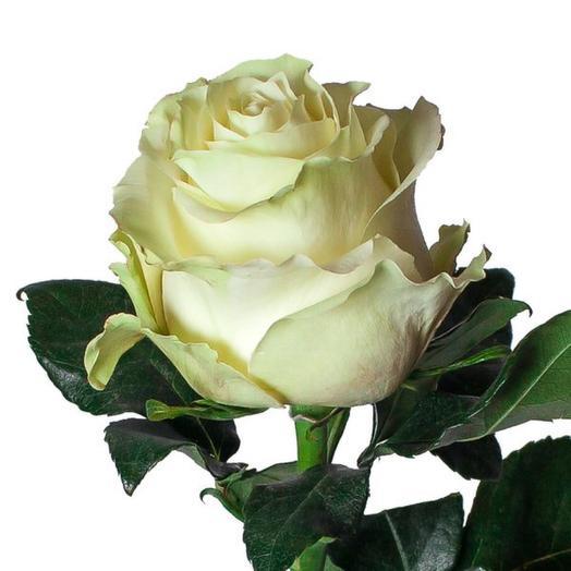 Белая роза Мондиаль 60 см