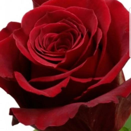 """Роза красная """"Эксплорер"""" 70 см"""