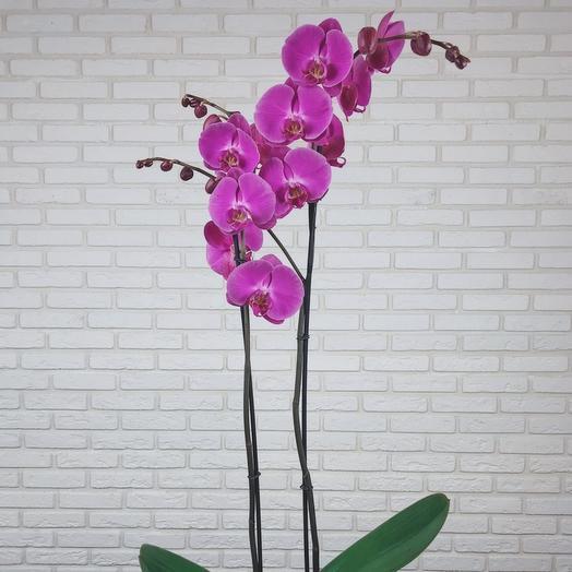 """Комнатное растение """"Орхидея фаленопсис"""" 2ствола"""