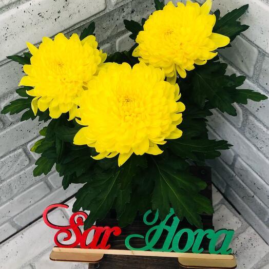 Комнатное растение хризантема одноголовая