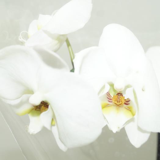 Фаленопсис с кашпо: букеты цветов на заказ Flowwow