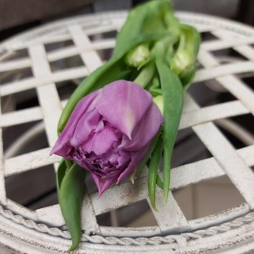 Тюльпан пионовидный сиреневый потучно