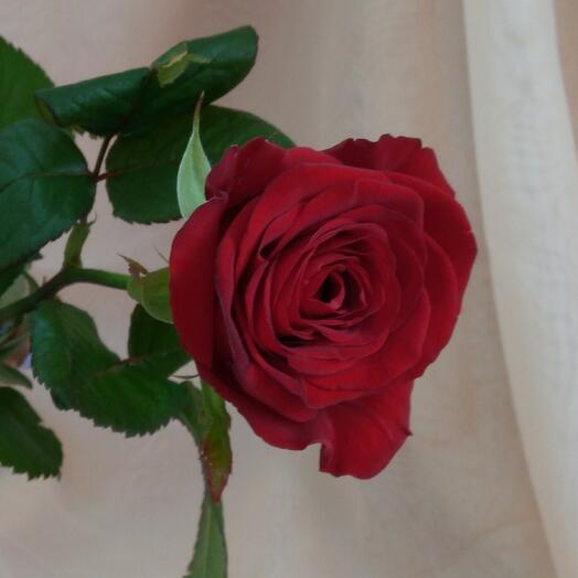Роза  Реднаоми