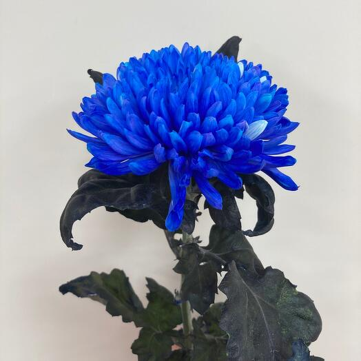 Одноголовая хризантема синяя