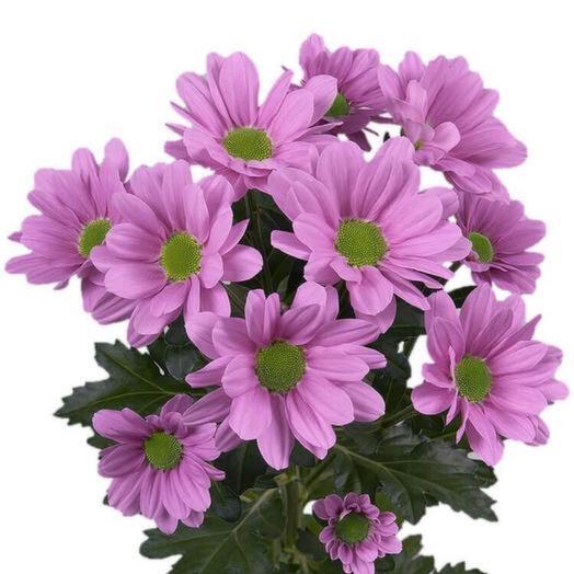 Хризантема кустовая РОМАШКА