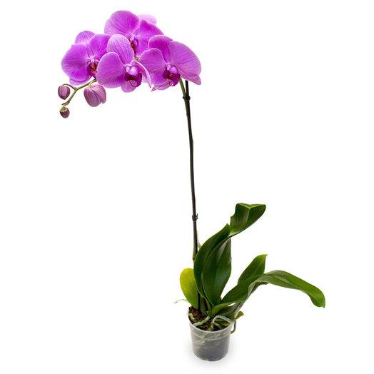 Орхидея Фаленопсис 1ствольная микс: букеты цветов на заказ Flowwow