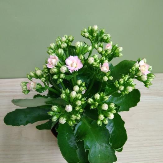 Каланхоэ Каландива Розовая: букеты цветов на заказ Flowwow