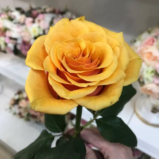 Роза Испания