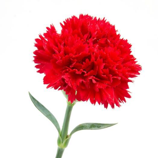 Красная гвоздика 9 мая День Победы