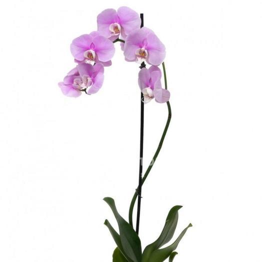 """Комнатное растение """"Орхидея фаленопсис"""" 1 ствол"""