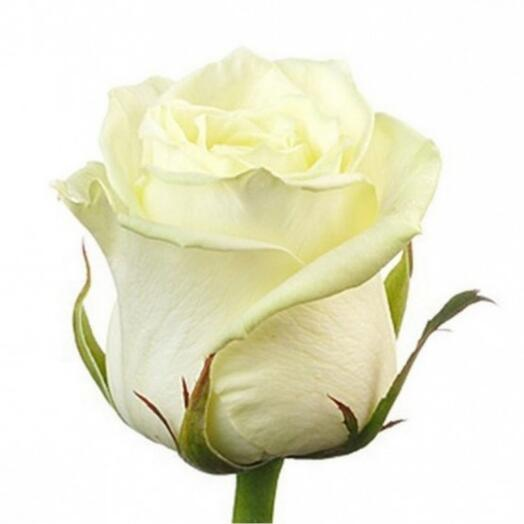 Роза Вайт Наоми (White Naomi)
