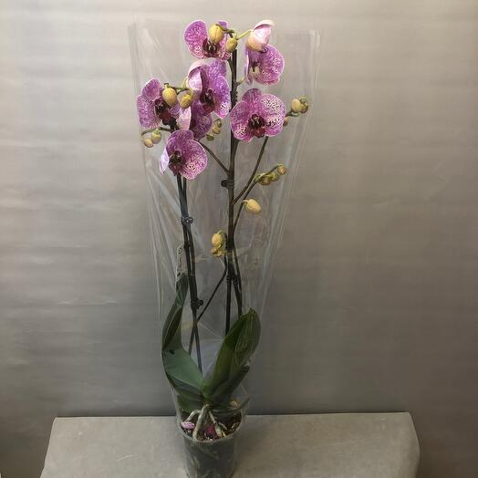 Фаленопсис 2 ствольный экзотик