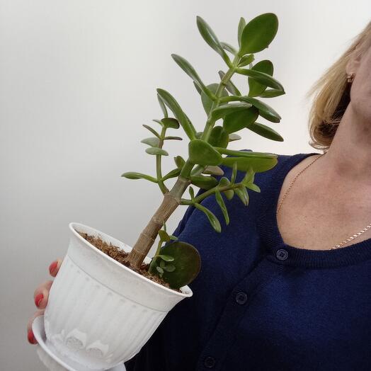 Комнатное растение Толстянка