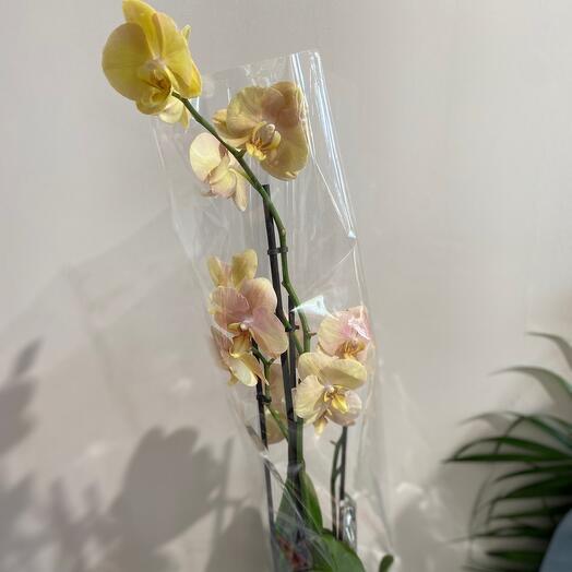 Фаленопсис (Орхидея) 4ст