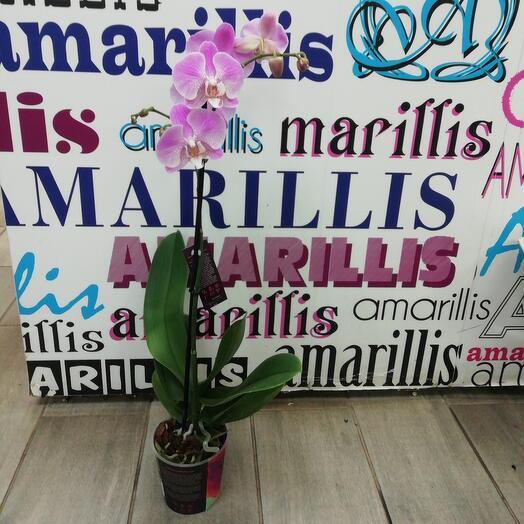 Комнатное растение орхидея фаленопсис