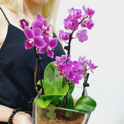 Орхидея Фаленопсис мини