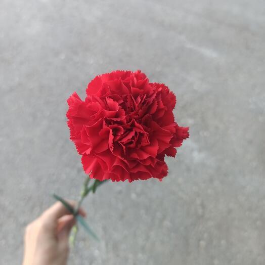 Гвоздика красная