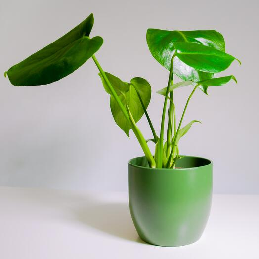 """Растение """"Монстера Деликатесная"""" пересаженное в Зелёный горшок"""