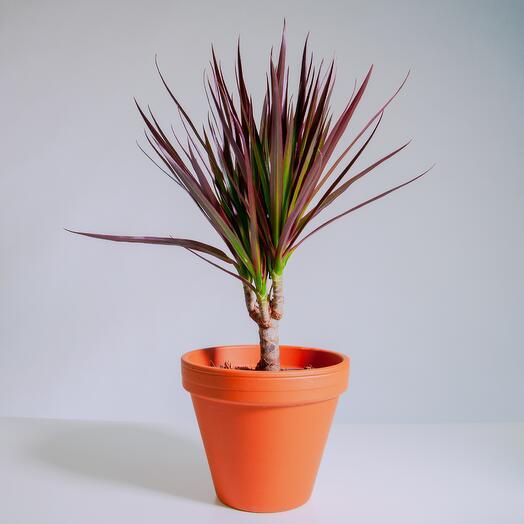 """Растение """"Драцена Маргината Маджента"""" пересаженное в Цвет Глины горшок"""