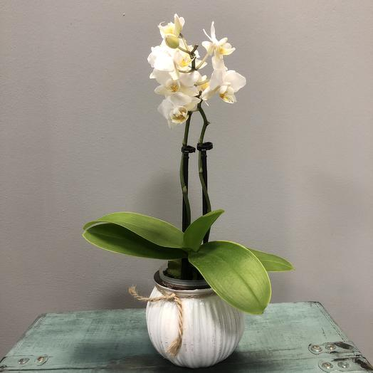 Орхидея мини в кашпо: букеты цветов на заказ Flowwow